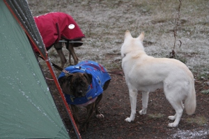 The pups by the tent in Yellowstone