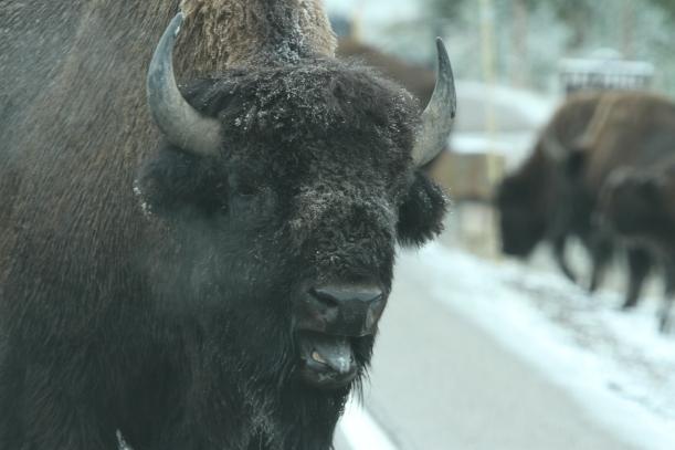 Head buffalo snorting