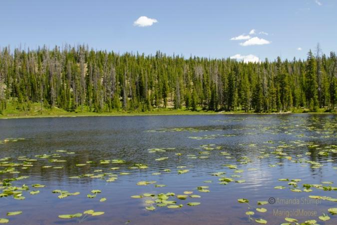 Haystack Lake waterlilies