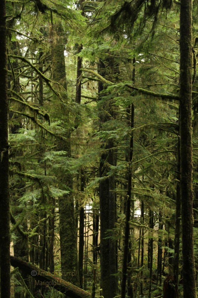 Dense pine trees covered in moss stand together.